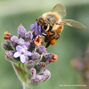 Sweet lavender nectar