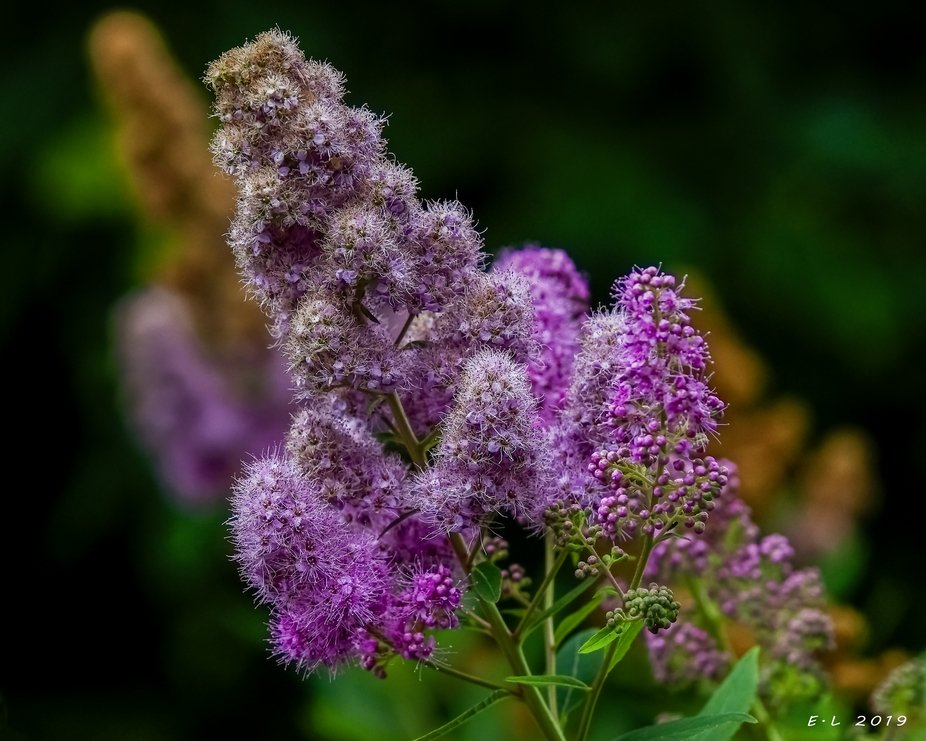 Bridewort - Spiraea salicifolia