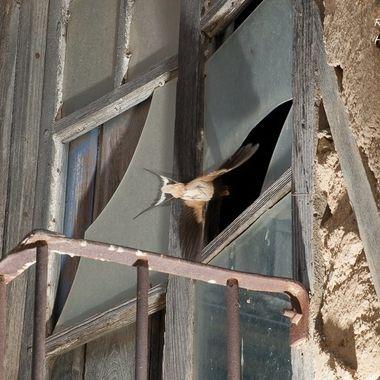 En el interior de esta casa serrana  abandonada (Herguijuela de la Sierra-Sierra de Francia-Spain) tiene el nido la Hirundo rustica y accede a traves del cristal roto de esta ventana