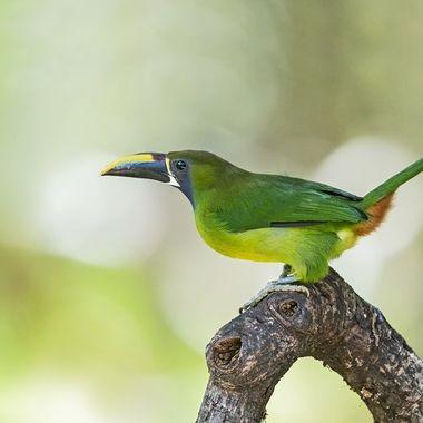 Emerald Toucanet DSC04826