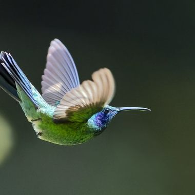 Green Violetear Hummingbird DSC05074