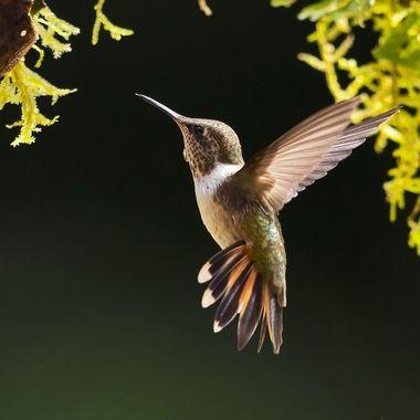 Volcano Hummingbird - male Talamanca Cordillera DSC04319