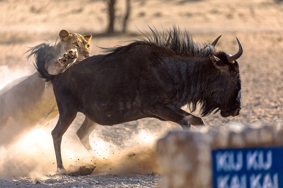 Lioness on the hunt  Kgalagadi Transfrontier Park