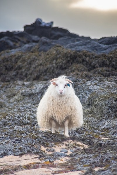 The mighty sheep