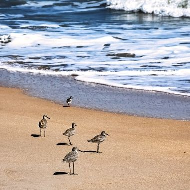 Sanderlings Hopping Around the Beach NW