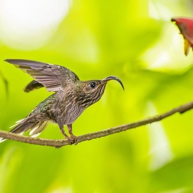 The only hummingbird in Costa Rica with streaked underparts and an extremely decurved bill.