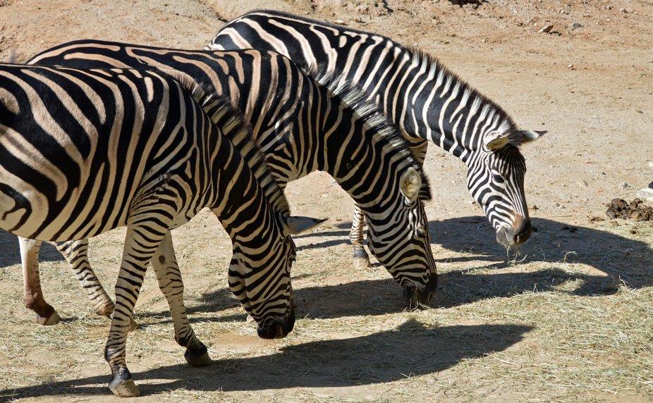 zebra 3 jpg