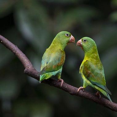 Orange-chinned Parakeet DSC06687