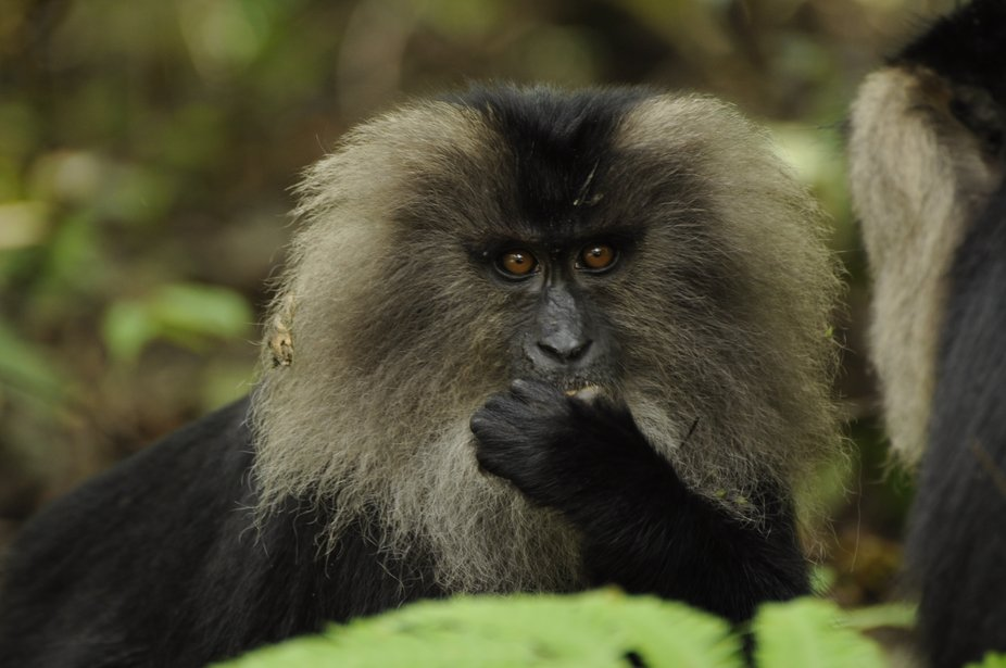 Lion Tailed Macaque, This photo was from my first wildlife trip to Valparai, Tamilnadu, India.