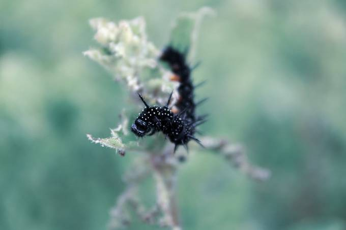 Close-up of black caterpillar on green background