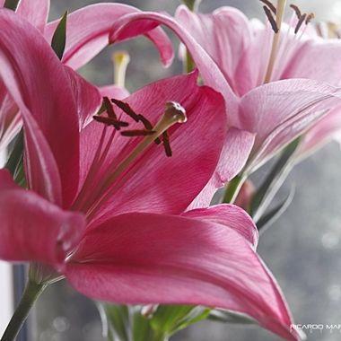 Fuscia lily