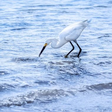 Snowy Egret Caught a Snack NW