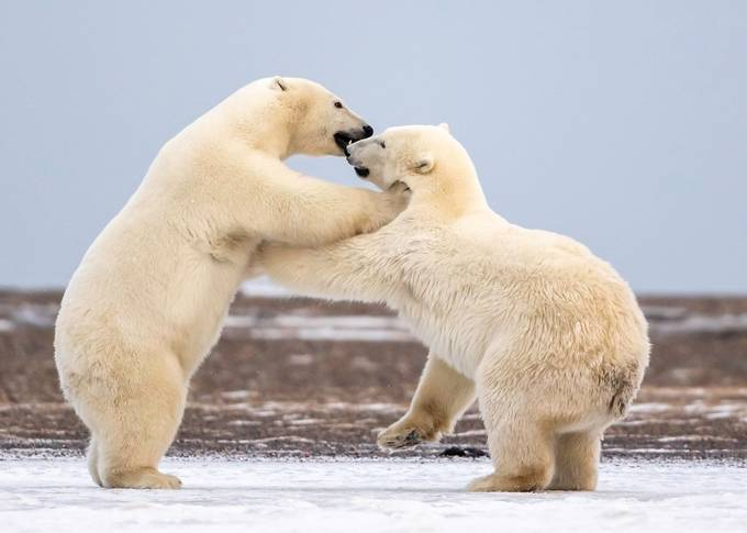 Polar Bear Cubs Playing by tomingramphotography - Monthly Pro Photo Contest Volume7