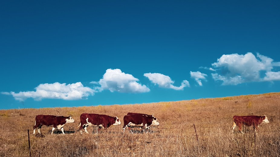 line of cows