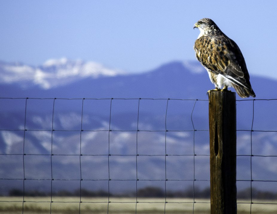 A ferruginous hawk perched on a fence post at Rocky Mountain Arsenal Wildlife Preserve in Colorado.