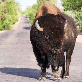 An American Bison blocks the road in Rocky Mountain Arsenal Wildlife Preserve in Colorado.