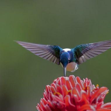 White-necked Jacobin Hummingbird DSC04021