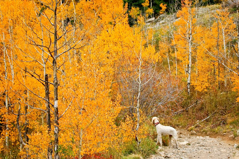 Mountain trail in the fall in the mountains of Colorado. The dog is waiting for the people to catch up....