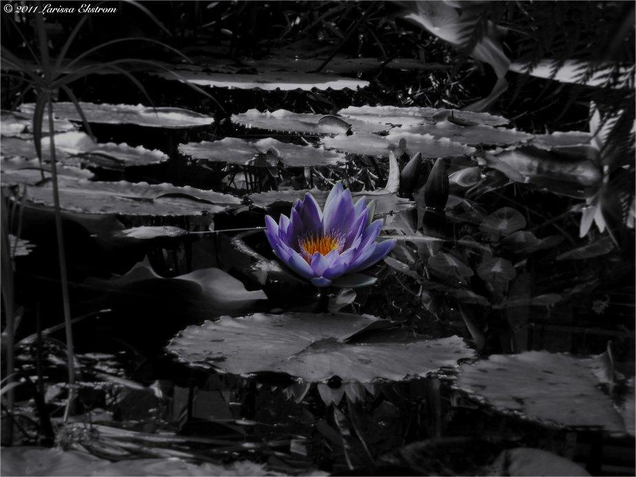 Monochromic Water Lily