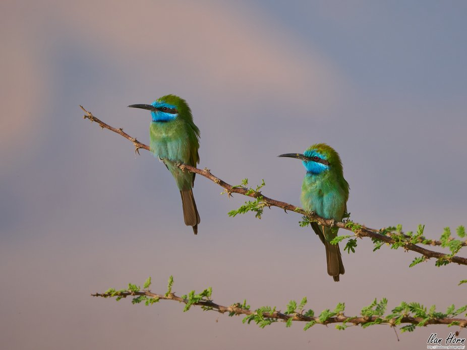 Pair of Green Bee-Eaters