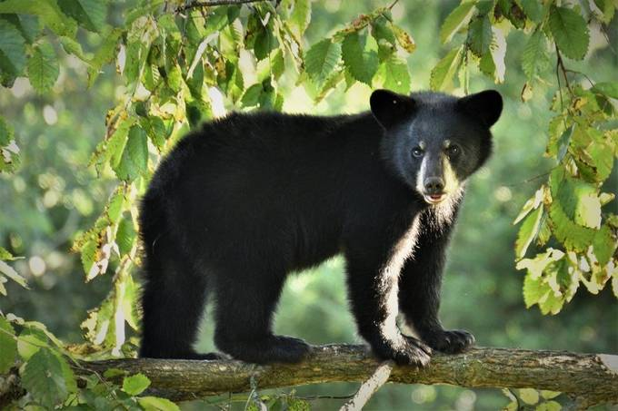 Yearling black bear in the morning light. Close