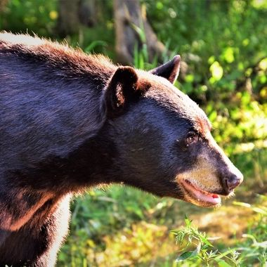 Big brown phase black bear