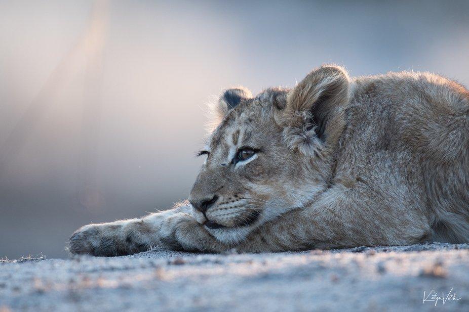 Lion cub dreaming