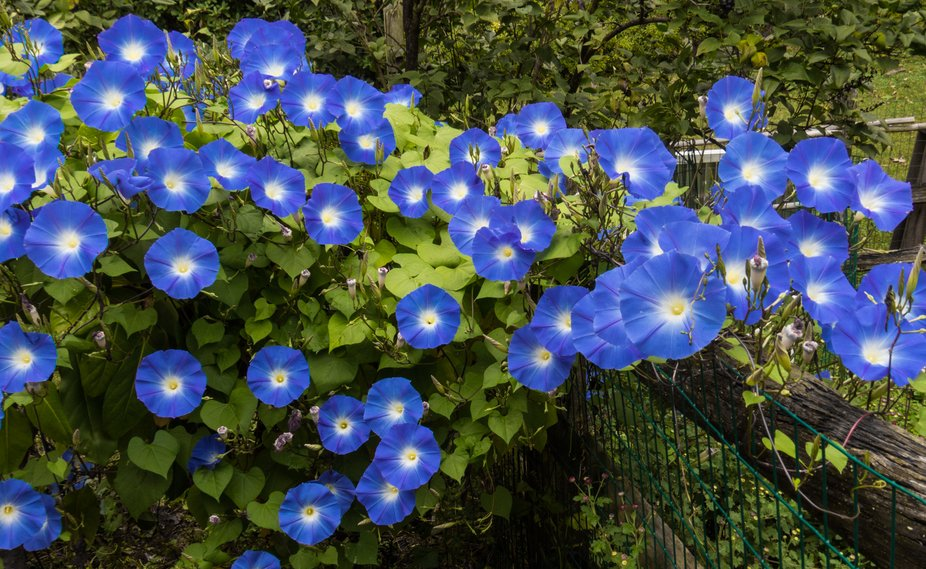 Morning glories abound growing over a nearby fence.