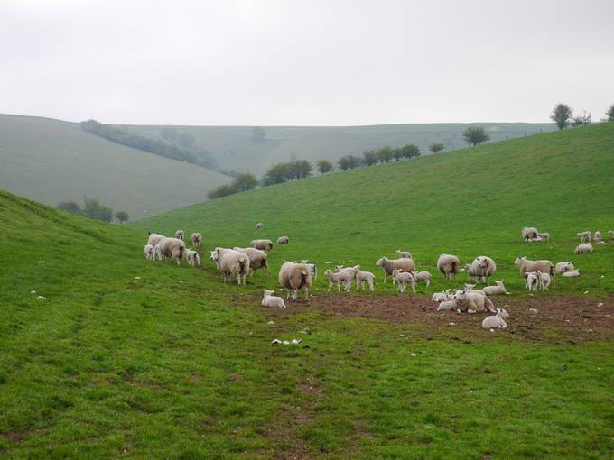 Yorkshire wolds at lambing time.