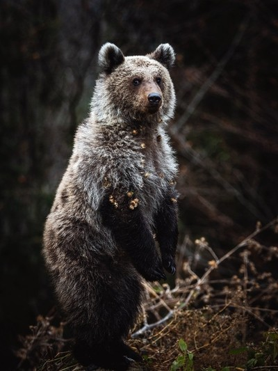 Brown bear in the Transylvanian wilderness