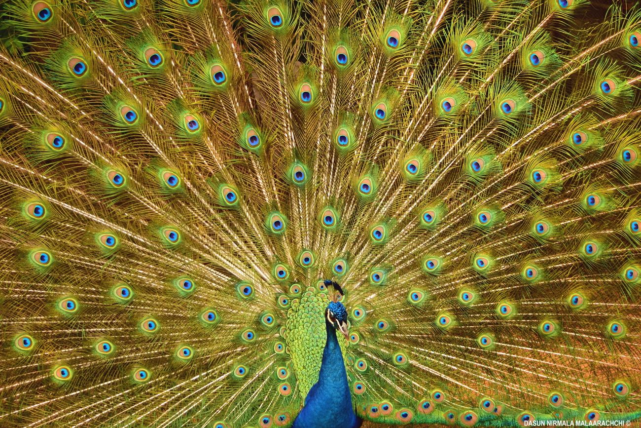 Peacock majestic