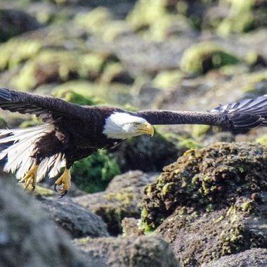 20150628-139 Bald Eagle