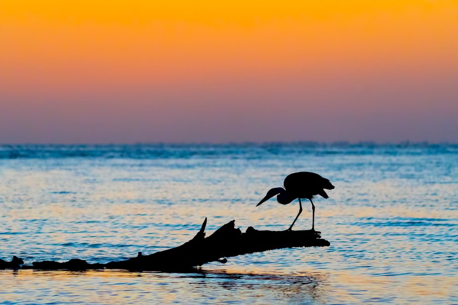I took this photo of a Great Blue Heron at sunset while walking along the north end of Lovers Key...