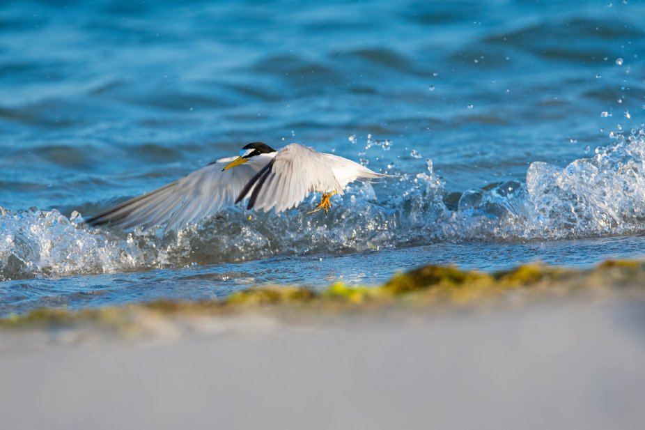 Spring is when the Least Terns nest on the beach at Little Estero Island Critical Wildlife Area o...