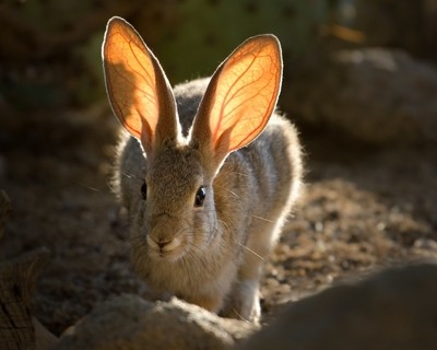 Cottontail Ears