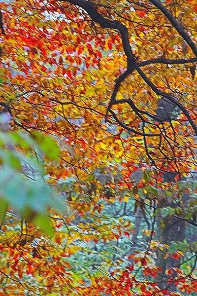 red.orange.leaves.fall.1.2.JPG