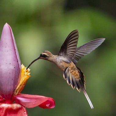 Long-billed Hermit Hummingbird DSC08218