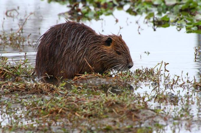 Also known as a nutria; an invasive species in Louisiana