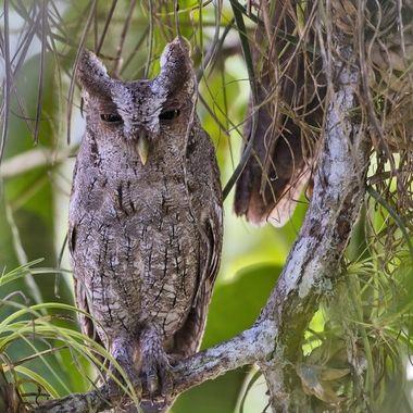 Pacific Screech-Owl DSC07368