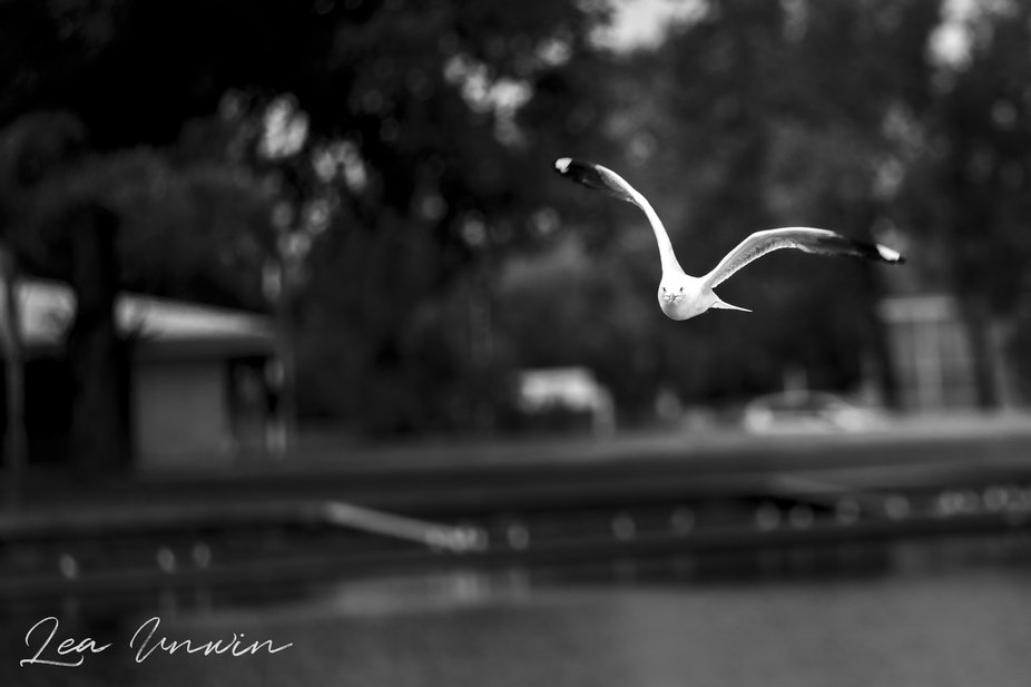 Seagull at our local lake