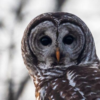 Barred Owl  DSC_0543-2
