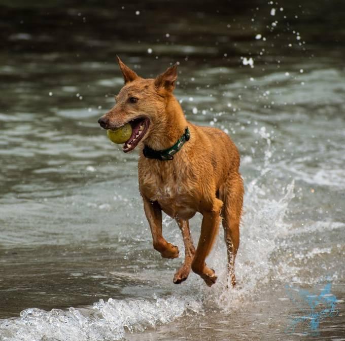 Pharoah Hound chillin' @ the beach 2