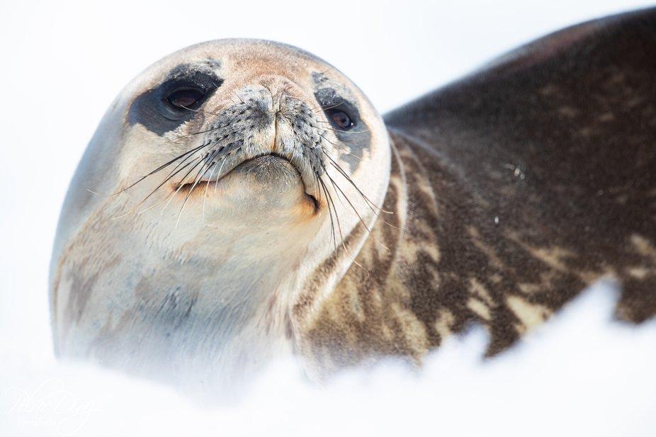 Weddells seal