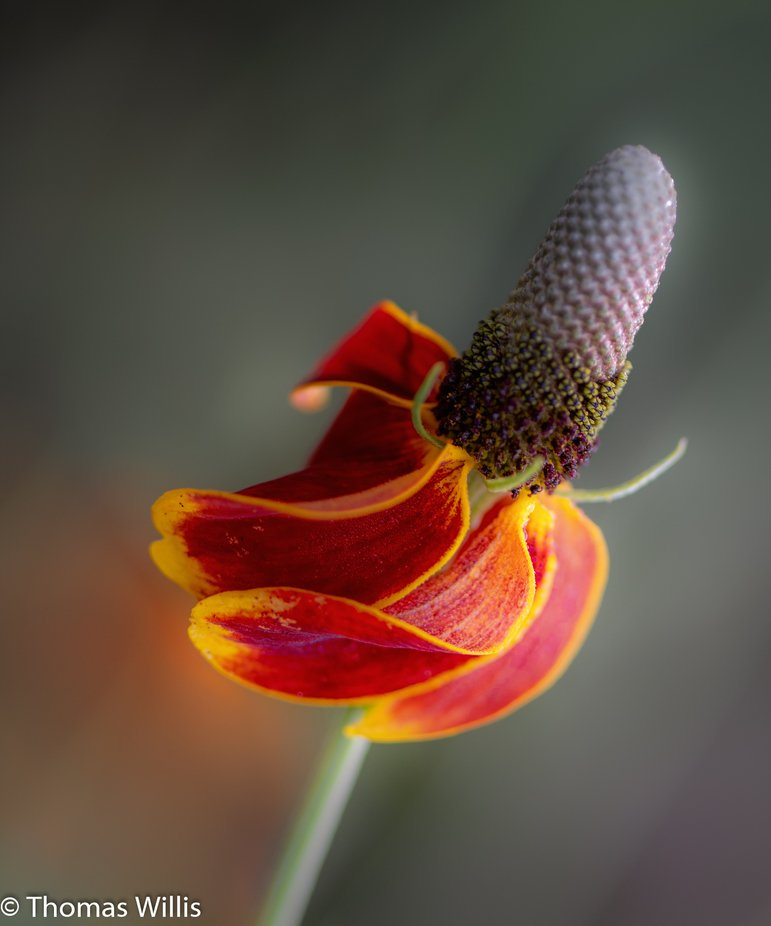 A Mexican cone flower dances in the wind with beautiful curves.