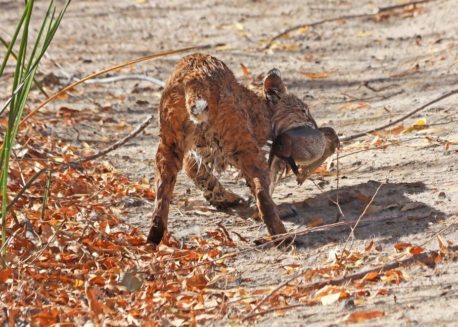 I have only seen a Bobcat in the Wild once before and only at dusk, until Friday Dec 20, 2019 ,wh...