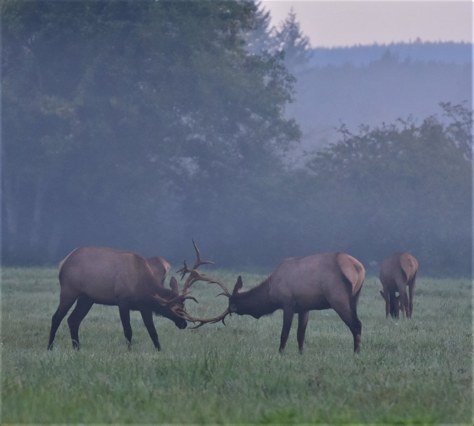 a couple bulls practise sparing