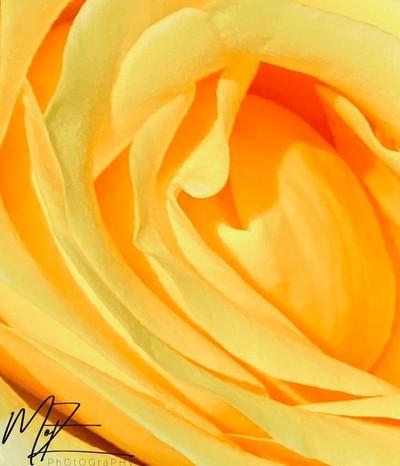 Yellow rose petals.