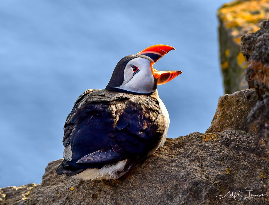 An Atlantic puffin photographed in Western Iceland in June 2019