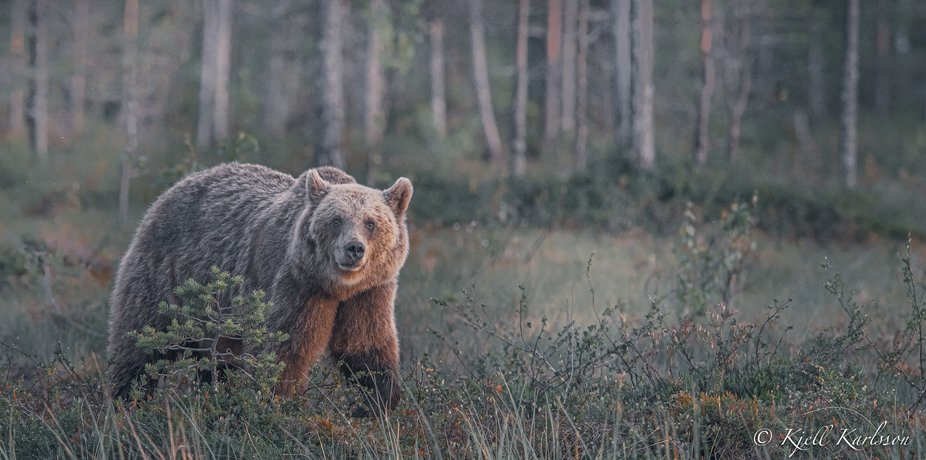 Brown Bear from Finland at the border from Russia an early morning!