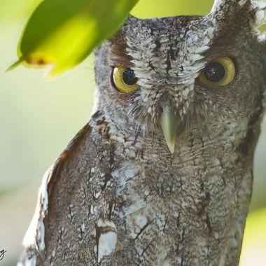 Pacific Screech-owl DSC08645